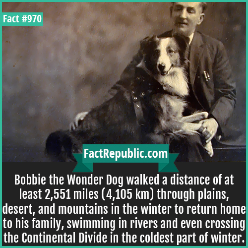 970. Bobbie the Wonder Dog-Bobbie the Wonder Dog walked a distance of at least 2,551 miles (4,105 km) through plains, desert, and mountains in the winter to return home to his family, swimming in rivers and even crossing the Continental Divide in the coldest part of winter.